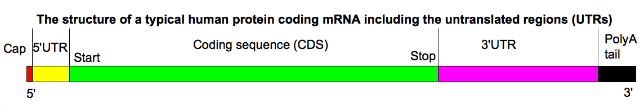 MRNA_structure.png